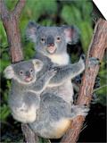 Koala (Phascolarctos Cinereus) Mother and Baby  Victoria  Australia