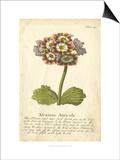 Non-Embellished Vintage Auricula II
