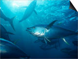 Yellowfin Tuna (Thunnus Albacares) in a Seine Net  Baja California  Mexico