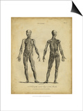 Anatomy Study III