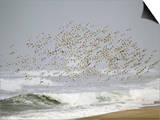 Sanderling (Calidris Alba) Flock in Flight over Ocean Waves  Long Island  New York  USA