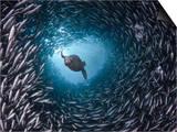 Galapagos Sea Lion (Zalophus Californianus Wollebacki) Swimming Through a Large School