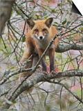 Red Fox in a Tree  Vulpes Vulpes  North America