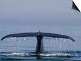 Blue Whale Tail Fluke (Balaenoptera Musculus)  Baja California  Mexico
