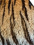 Close Up of the Bengal Tiger Fur and Stripe Pattern (Panthera Tigris)