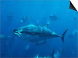 Pacific Bluefin Tuna (Thunnus Thynnus) Schooling  Mexico