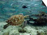 Green Sea Turtle (Chelonia Mydas) Swimming Among Schooling Jacks  Malaysia