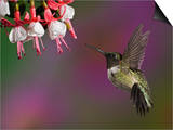 Male Ruby-Throated Hummingbird Hovering Near Flowers (Archilochus Colubris)  Eastern USA