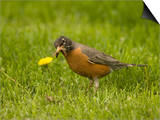American Robin with an Earthworm in its Bill (Turdus Migratorius)  North America