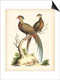 Regal Pheasants II