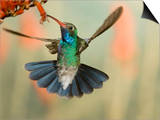 Broad-Billed Hummingbird (Cynanthus Latirostris) Feeding on Nectar  Southwest Arizona  USA