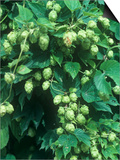 Hops  Humulus Lupulus  Cones Commonly Used in Brewing Beer