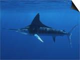 A Striped Marlin (Tetrapturus Audax)  Magdalena Bay  Baja California  Mexico