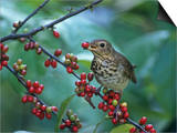 Swainson's Thrush (Catharus Ustulatus) Eating a Spicebush Berry  North America