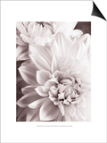 Black and White Dahlias II