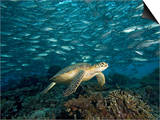 Green Sea Turtle (Chelonia Mydas) Swimming over a Coral Reef Among Schooling Fish  Malaysia