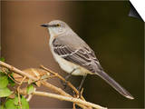 Northern Mockingbird  Mimus Gundlachii   USA