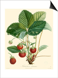 Bessa Strawberries