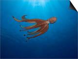 Day Octopus Swimming (Octopus Cyanea)  Hawaii  USA