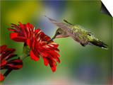 Female Ruby-Throated Hummingbird Feeding on Flower  Louisville  Kentucky