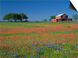 Texas Paintbrush and Texas Bluebonnets Flowering in a Meadow or Pasture Near a Red Barn
