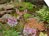 White-Tailed Deer Fawn Hiding in Backyard Landscaping  Louisville  Kentucky