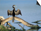 Anhinga (Anhinga Anhinga) Drying its Wings  Ding Darling National Wildlife Refuge  Florida  USA