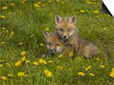 Red Fox Cubs Playing in a Field of Dandelions  Vulpes Vulpes  North America