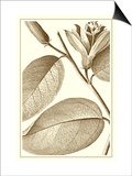 Cropped Sepia Botanical II