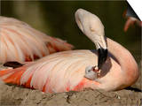 Chilean Flamingo (Phoenicopterus Chilensis) Adult Feeding a Chick on the Nest  Captive