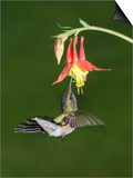 Female Ruby-Throated Hummingbird  Archilochus Colubris  Feeding at a Columbine Flower  Aquilegia