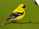 Male American Goldfinch in Breeding Plumage (Carduelis Tristis)  Eastern USA