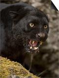 Leopard or Black Panther (Panthera Pardus)