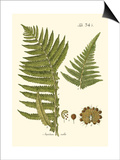 Small Antique Fern III