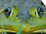 North American Bullfrog Eyes (Rana Catesbeiana)