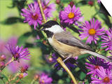 Carolina Chickadee (Poecile Carolinensis) in New England Asters  North America