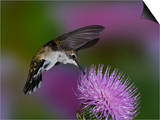 Ruby-Throated Hummingbird in Flight at Thistle Flower  Archilochus Colubris