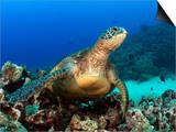 Green Sea Turtle  Chelonia Mydas  Resting on a Coral Reef Off Maui  Hawaii  USA