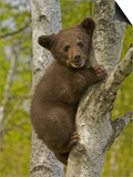 Black Bear  Ursus Americanus  Female Cub in a Tree  North America