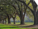 Stately Live Oak Trees Draped in Spanish Moss  Boone Hall Plantation