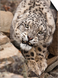 Snow Leopard (Panthera Uncia)  Controlled Situation