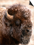 Bull Bison Head in Winter (Bison Bison)  North America