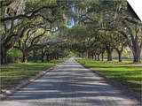 Driveway Beneath Stately Live Oak Trees Draped in Spanish Moss  Boone Hall Plantation