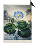 Thornton: Water Lily