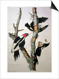 "Ivory-Billed Woodpecker  from ""Birds of America "" 1829"