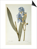 Iris Pallida  from Les Liliacees  1812