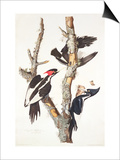 Ivory-Billed Woodpecker  1829