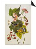 Black and Yellow Warbler Magnolia Warbler