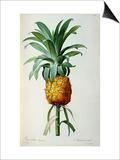 Bromelia Ananas  from Les Bromeliacees