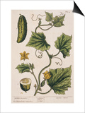 Garden Cucumber  Plate 4 from A Curious Herbal  Published 1782